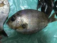 神奈川県三浦市城ヶ島の磯で釣った魚なんですが、市場魚貝類図鑑や魚web図鑑などで色々調べましたが、分かりませんでした。 長さ約30cm、重さが630gでした。知っている方は教えてください。よろしくお願い致します。