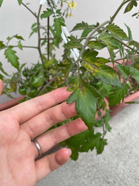 ミニトマトを育てているのですが、葉っぱの色が変わってきました。何かの病気でしょうか?治し方は、あるのでしょうか?