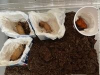 カブトムシの幼虫 人口蛹室について教えてください。 カブトムシの幼虫に飼育は初めてです。幼虫を5匹いただき、5月から大切に育てております。 土が浅かったのか柔らかすぎたのか。1匹は上手に蛹室を作ったようなのですが、4匹は土の上に出てきてしまいました。恐らく前蛹だと思った子は紙コップの中で昨日蛹になりました。他の幼虫も動かなくなってきたので紙コップに入れようと思いましたが、狭そうだったので、写...