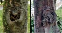 公園の樹木の不思議な形状について、教えてください。 幹に、仁王様の口のような形状の穴が開いています。(左の写真です) もう一本は、シャバーニ(東山動物園のゴリラ)そっくりのコブがあります。(右の写真です) どうしてこんな形ができたのでしょうか。 二本とも落葉樹で、木の名前は分かりません。 ご指導をお願いします。