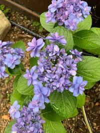 この紫陽花の品種がわかる方おられますか??