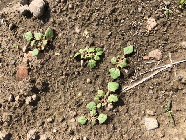 大葉についてです。 大葉の種を植えたところに出てきている芽ですが、これは大葉のものでしょうか? 植えていない場所にも同じような芽が出てきていたので、もしかしたら違うのかな?と思い質問させていただきました。