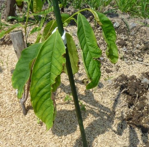 ポポーの苗木の葉の一部が、写真のように枯れもし欠損ともなったのですが何か原因でもあるのでしょうか? もしかして肥料の不足や過多とかや、水不足や過多とか?