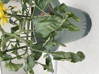 ミニトマトの苗を植えて1ヶ月ほど経ちました。現在葉がこのようになっており、主枝の成長も止まってしまっているように見えます。 これはモザイク病でしょうか。調べてもよく分からなかったので、わかる方ご教授ください。 花と実は少しずつですが増えています。