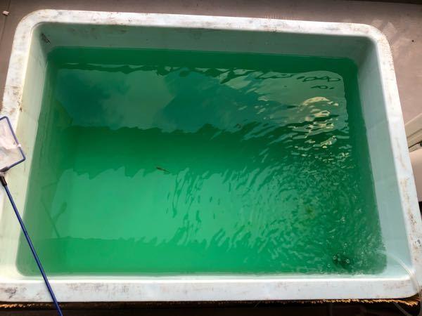 メダカの飼育用にグリーンウォーターを初めて作るのですが、これはグリーンウォーターになってますでしょうか?(匂いはほとんどありません)