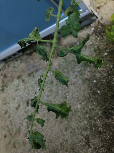 ミニトマトの葉に縮れがあります。 ゴールデンウィークに苗を植えたのですが、成長点の付近の葉が縮れています。 下の方の葉は、特に異常はありません。 青枯病でしょうか? 何か対処法はありますか? アドバイス頂きたいです。