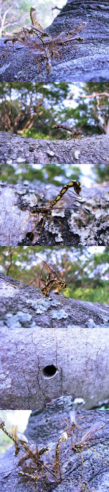 6月の標高300m~400mくらいの低山にいた虫です。 山道に大きな樹が(何かの原因で)半分折れてしまっているのですが、 その倒木(倒木と言ってもまだつながっていて生きています)に群がっていた昆虫です。最初見た時『 蜂かっ!? 』と思ったのですが、体の線は細く、カメラが至近まで寄っても攻撃も何もしてきません。 10匹くらいで群がっていたので、何をしているのか観察していたら、自分の体より長い卵管とおぼしきモノを、木の穴や ひび割れなどに突っ込んで卵を産み付けている??(わかりません) ようです。 画像の下4枚はこの虫が卵管らしきものを、穴や隙間に突っ込んでいる画像とその穴です。 何という名前の昆虫でしょうか??