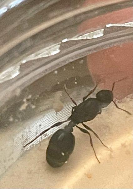このアリは何というアリでしょうか? 大きさは1cm弱くらいです。 よろしくお願いします。