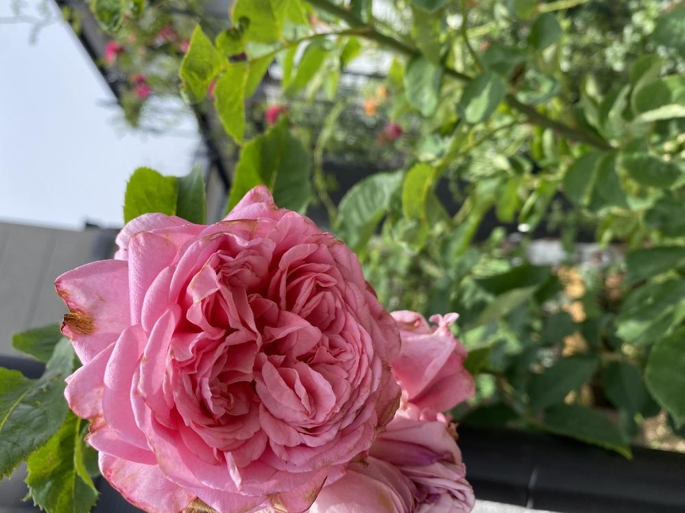 このバラの名はなんだと思いますか? オークションでバラの新苗を購入しました。(お店からではなく、個人の方から)ERの黄色の人気品種との事でしたが、地植えにしてこの春開花したのですが、濃いピンクのバラでした。手元に届いた時はわからなかったのですが、ぐんぐん伸びてくるにつれて何となく人気品種(グラ◯ムトー◯ス)ってこんな光沢の無いごつい印象の葉だったかな?シュートもなんか太めの上にシュッと一直線に伸びてるけど、こんなだっけ?と思う事がしばしばありました。で、開花すると房咲き濃いピンクの結構ボリュームがあるバラでした。これはこれでキレイなので大事に育てていくつもりですが、もし品種名がわかれば…と思い、購入先にメールを送ってみたのですがお返事がありません。もしかしたらクレームと思ってお返事ためらっているのかもしれません。 おそらく…もしかして…でも構いませんので、どなたかこれではないか?と思った方、宜しくお願い致します。(雨で花びらが茶色になっててキレイな状態でなくすみません。)