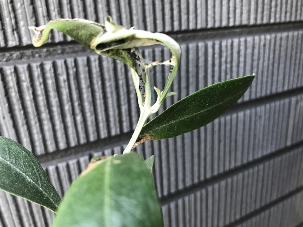オリーブの育て方についての質問です。 最近葉が部分的に変色したり、葉が丸まって白いふわふわに黒い粒が混ざった物が付いていたりして、オリーブも元気がないような気がします。 これらは害虫や病気なのでしょうか? 検索するとカイガラムシがヒットしたのですが、これらが該当するのかよく分からず、、、。