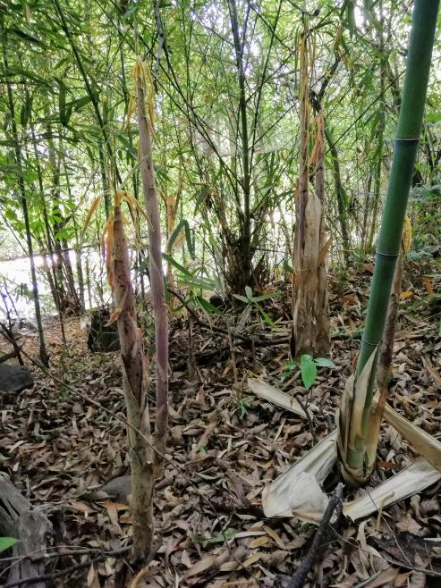これは淡竹ですか?真竹ですか?