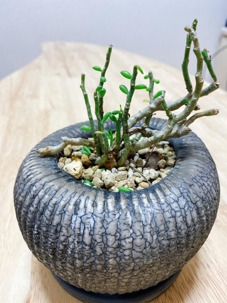 この観葉植物の名前を教えて頂きたいです! よろしくお願いします!