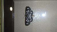 虫注意。この蛾(蝶?)の名前はなんですか? 夜に撮りました。