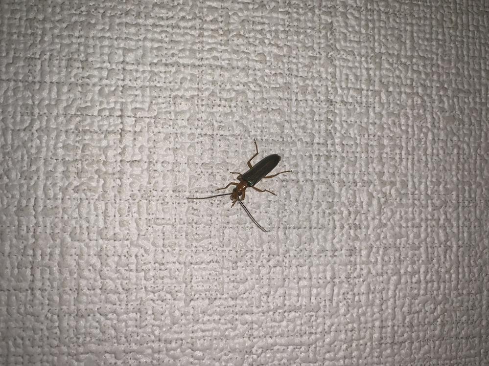 この虫の名前がわかる人いませんか? 大きさは1.5センチくらいです