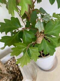 病院の観葉植物の根元に植えてあったのですがこれは何ですか?