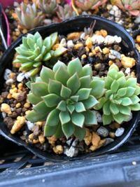 この多肉植物の名前がわかる方、教えてください。 母はエメラルドリップではないか…?というのですがどうでしょうか?