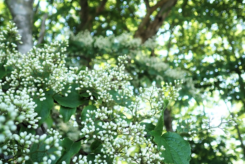 滋賀県 湖西の低山で6/09見ました。 何の植物でしょう。