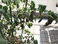 プチトマトの枯れ方について。 プランターで苗から育てているプチトマトが所々枯れて緑の実も落ちています。 水のあげ過ぎかあげなさ過ぎかどちらが考えられるでしょうか? 家庭菜園初心者です。 他にも情報が必要であれば追記するのでアドバイスお願いします! ・雨の日以外は500mlほど水をあげている ・全体的にシナッとしていて花・実のない葉っぱは枯れている