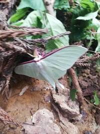 先日変わった蛾をみつけました。なんという名前の蛾でしょうか?