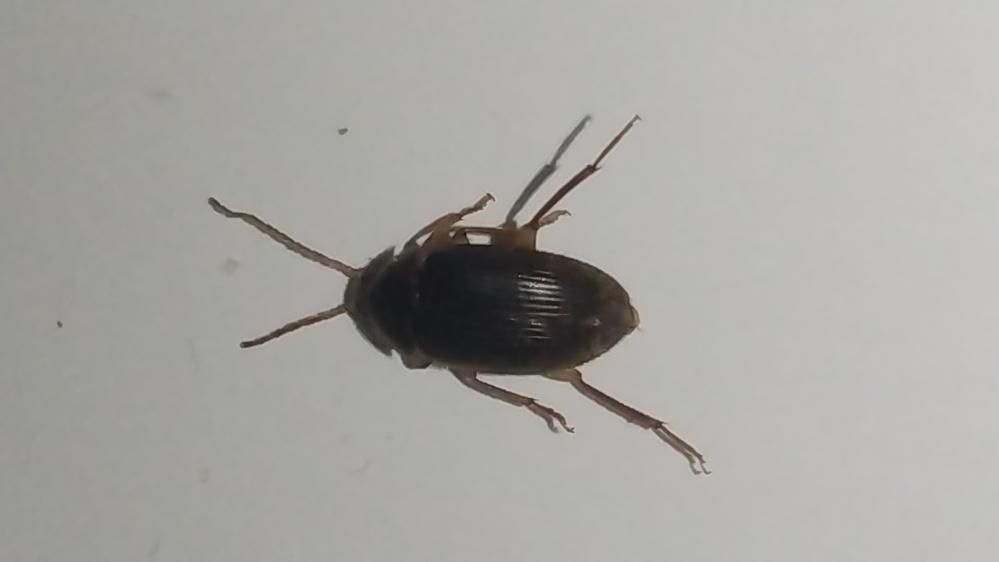 この虫何かわかりますか? 大きさ約1cmで羽もあります。 家の中にいました。