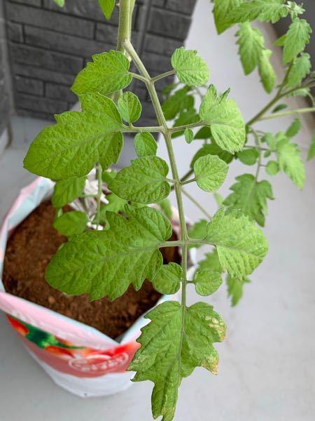 ベランダでトマトを育てているのですが 葉っぱに小さな黒い斑点、縁に黄色~白いものが出てきました。何か病気でしょうか? 苗自体は花がたくさん付き実もなってきている感じです。 対策など教えていただきたいです。