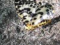 庭に見慣れない蝶(蛾?)がおりました。 どなたか知っている方教えてください。 写真撮って検索しましたが違う蛾しか出て来ませんでした。