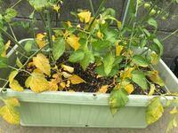 トマト苗を2つ植えてます プランターが狭すぎて根詰まりして 葉っぱが黄色くなってるのでしょうか? 実もなりだしてる途中ですが 今からでも植え替えをしても大丈夫なのでしょうか?