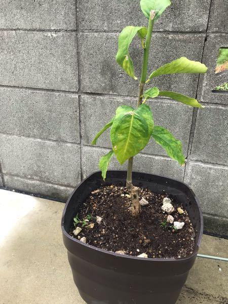 レモンの苗木を今年の5月に植えました 新葉もでてこないし逆に少し枯れたきがします プランターに植え替えるときに 株がくずれてしまいました そのせいで枯れてるのでしょうか?
