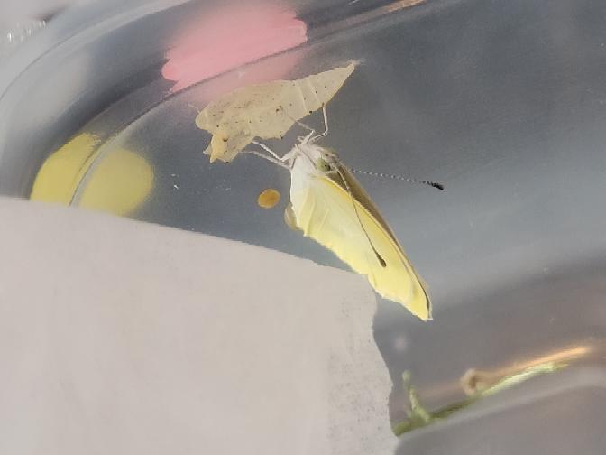 羽化しました!嬉しいです❤️ ちなみにこれはモンキチョウですか? モンシロチョウだと思っていたのですが、黄色みが強いのでモンキチョウかなと思ったのですが!