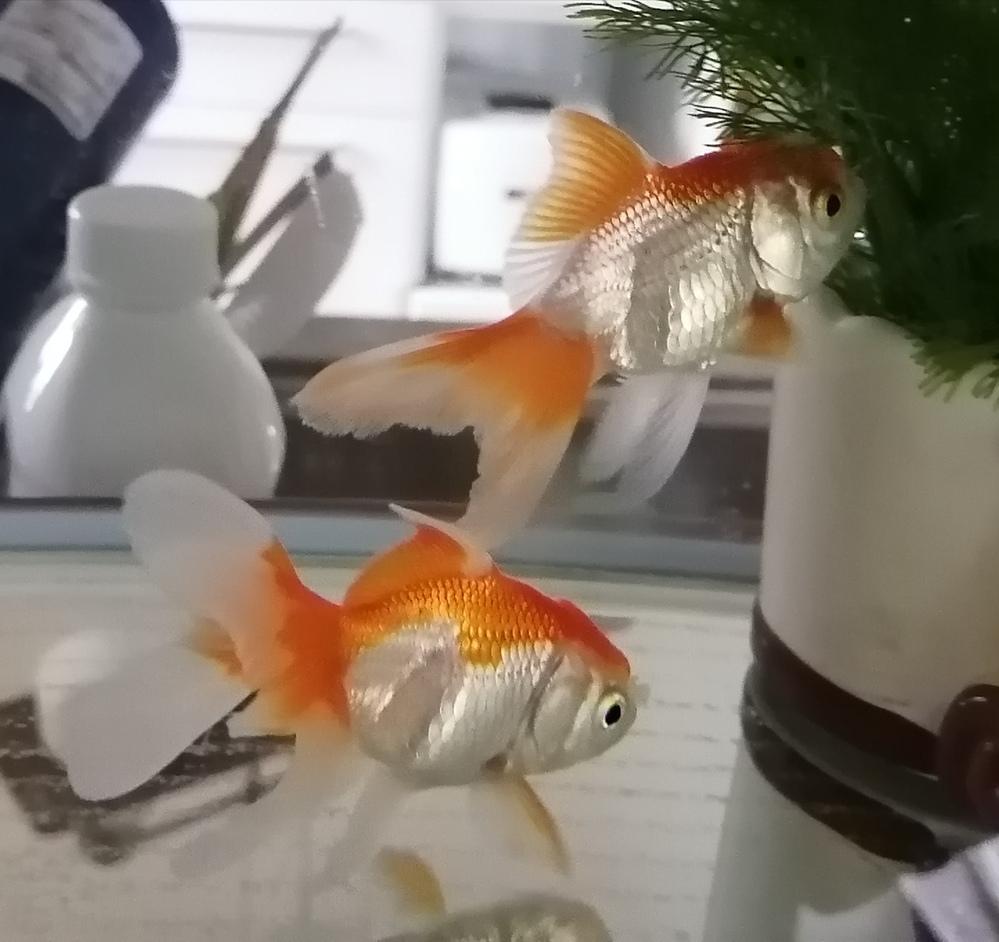 この金魚の種類を教えて下さい。 ホームセンターで購入しました。 東錦と書いていたのですが、黒い色素がなく赤白2色です。オランダですか? 赤白の東錦もいますか?