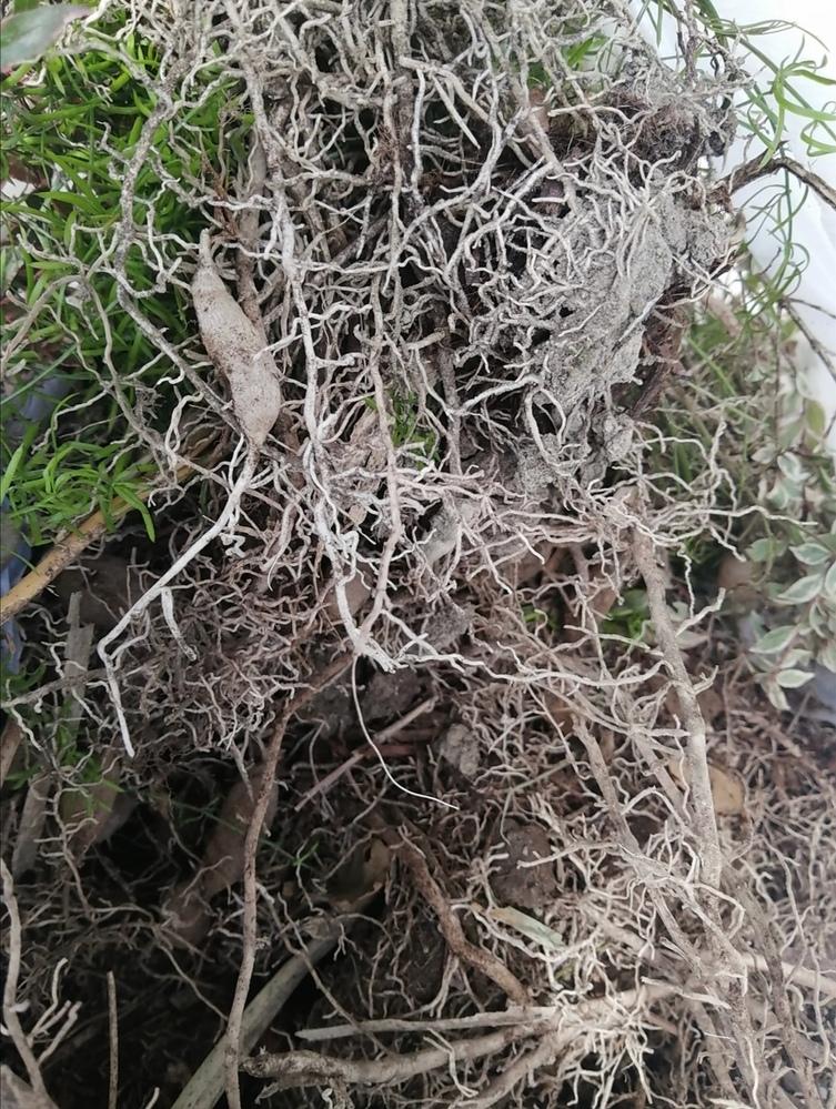 こちらの草の名称を教えて頂けませんか? 茎に棘があり 根っこの部分には小芋の様な種?がついています。