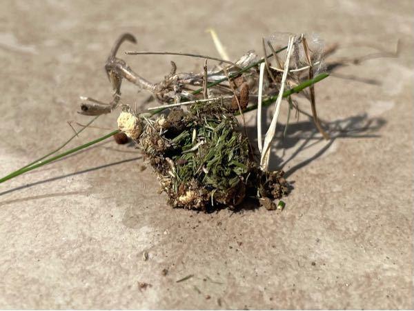 芝についてどなたか教えて下さい。 最近、芝(高麗芝)の上に1センチぐらいの土の塊があり、その塊を崩してみると中に写真のようなに葉っぱがたくさん詰まっています。 何かの糞でしょうか? また、最近...