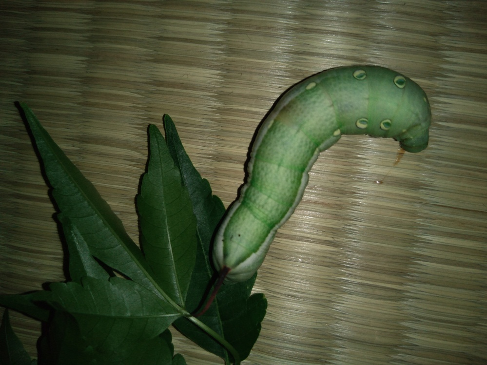 道で拾いました。何の幼虫ですか?