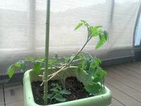ミニトマトの脇芽を差して大きくなったのですが 今日、水やりの時に下の方の大きめの下葉を折ってしまいました。 これでも育ちますでしょうか?
