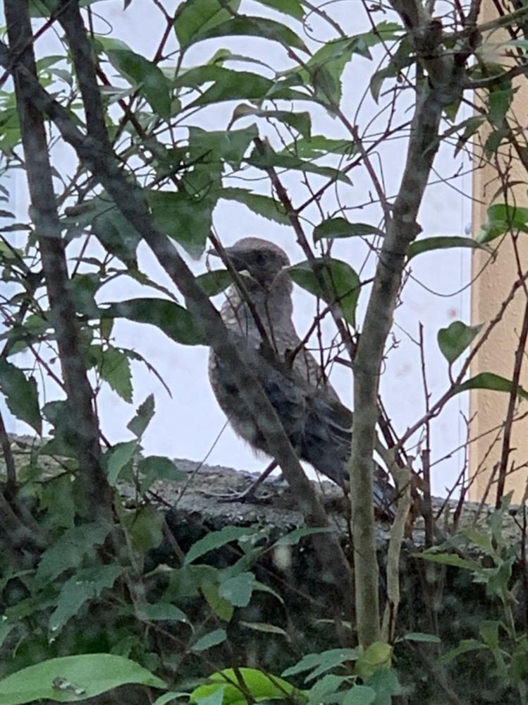 この鳥の名前はなんでしょう? 兵庫県の田舎の住宅地で見かけました。 ヒヨの子供かと思うくらい結構大きいのですが、鳴き声はギーです。 ギーと鳴きながら、尻尾を広げるのですが… 見かけた際は紫陽花の...
