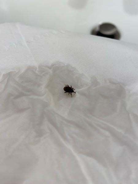 この虫がなにか教えて下さい。 アメリカ在住です。 家の中にこんな虫がでました。 大きさは0.5センチほどでバスルームのタイルの床にいて動きは遅かったです。 害虫なのかも分からず、困っています。 お願いいたします。