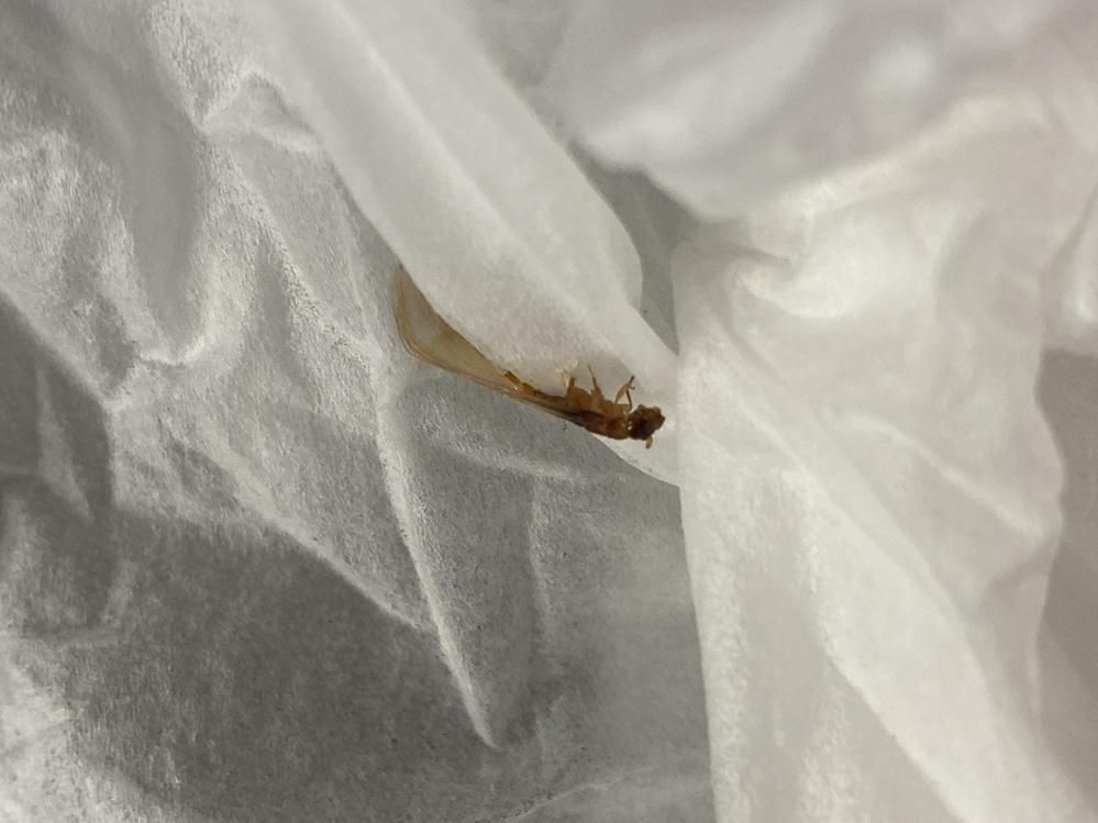 この虫が何かわかる方いますか? 網戸にかなりいて家にもはいってきてました。 3cmくらいで羽、茶色です。