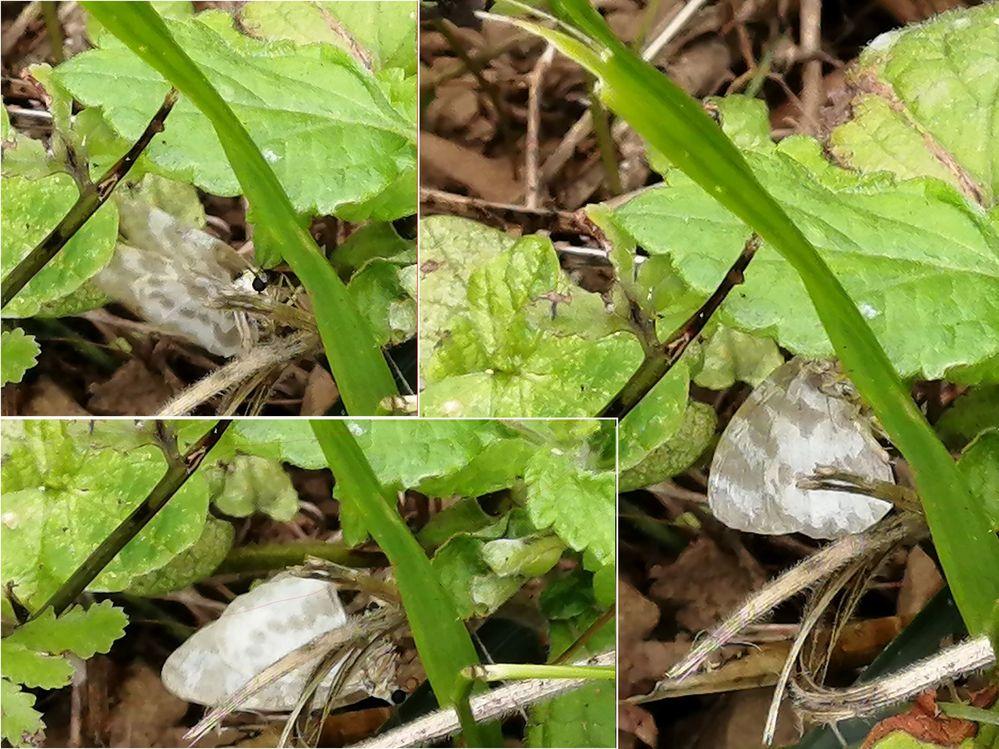 この蝶はムラサキシジミでしょうか 6/12に、埼玉県の山間部でソロツーリングしたおり、 沢の傍で飛んでいた蝶です。(一瞬蛾かと思いました) 小さくて可愛らしいので、帰宅して調べてみたところ、 ムラサキシジミかと思うのですが、 ムラサキシジミより模様が大雑把な気がします。。。 この蝶はムラサキシジミでしょうか?