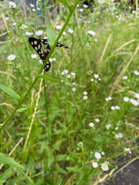 この蝶々の名前はなんですか?