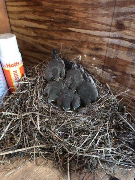 毎年私の物置にセキレイが卵を産んで巣立っていきます。 毎年可愛いと思って巣立っていくのを見守っていますが、困っている事が一つあります。 この子鳥達が物置から巣立つ時、推測になりますが、なかなか上...
