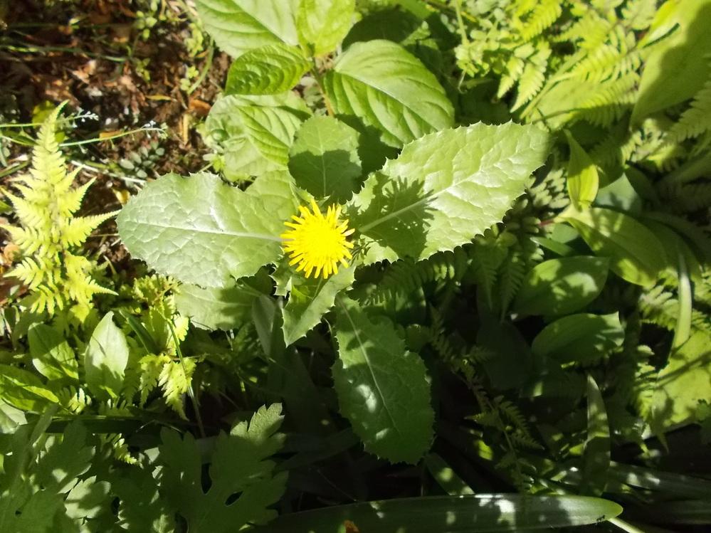 花の名前を教えてください。 花はタンポポに似ていますが、葉が大きく葉脈が白く縁がギザギザしています。