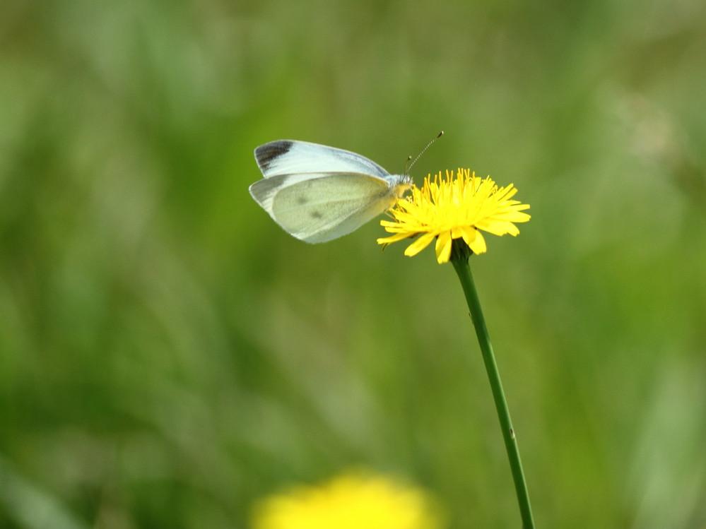 この蝶の名前を教えて下さい。 小さくて分かりずらいですが・・
