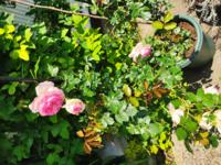 このバラの品種が分かる人はいらっしゃいませんか?