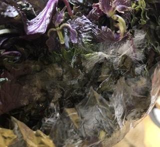 2日前赤紫蘇ジュースを作ろうと赤紫蘇をスーパーで買いました。 今日作ろうとしたところ、赤紫蘇の表面のあちこちに白い毛のようなものがありました。 (包装されている内側が特に白かった) 赤紫蘇ジュースを作るのは初めてでわからないのですが、洗って煮れば平気なものでしょうか? 洗ったところ擦らなくても流れました。