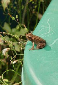 この蛙の種類を教えてください。 春頃に、家の横の水路に卵があったので観察していました。今日見てみたらようやくカエルになっていました。とても小さいです。2センチ未満です。 お判りになる方いらっしゃいましたら教えてください!