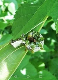 こちらのフンのような幼虫の正体を教えて下さい。 くわの葉を食べてました。