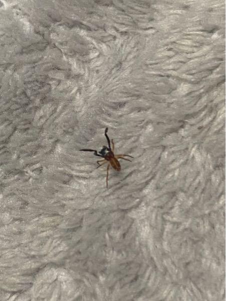 蟻のような蜘蛛のような? 手はカマキリのような動きをするので これはカマキリの一種でしょうか? 家の中に現れて、見たことない虫だったので 気になって、、