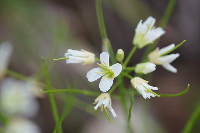 磐梯山で見た花です。 名前を教えて下さい。 宜しくお願いします。