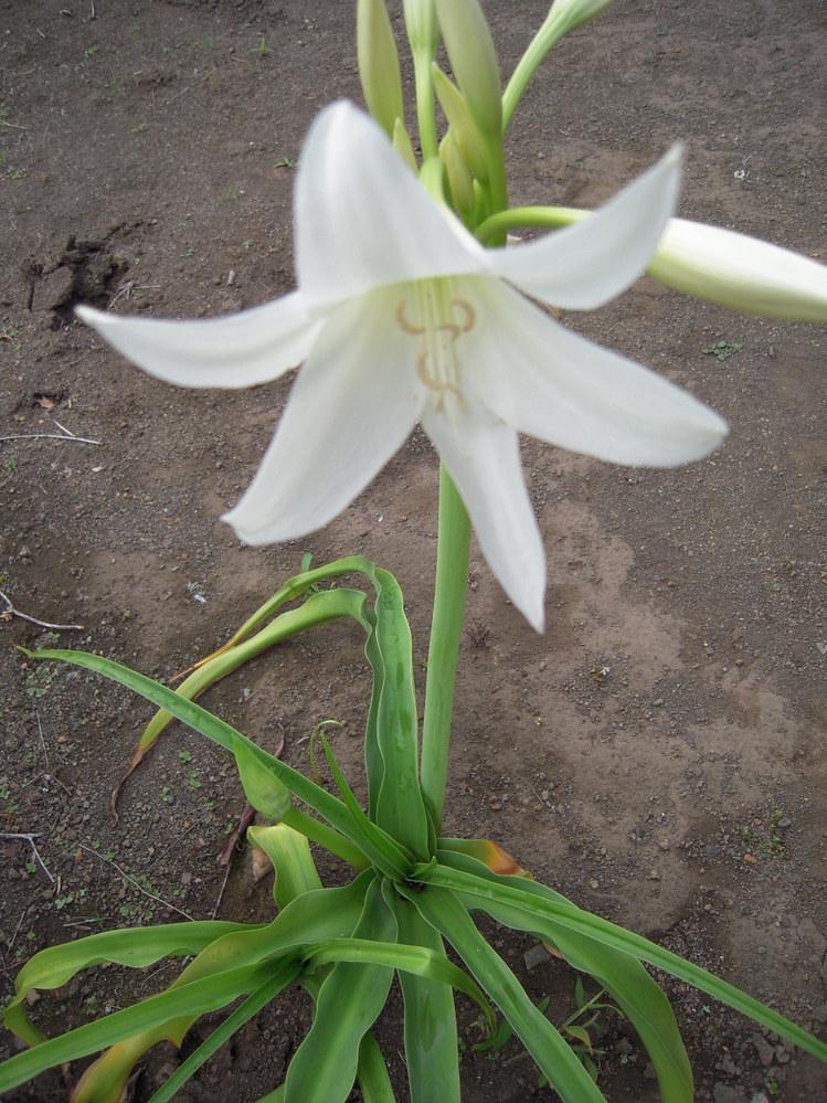 植物に詳しい方に質問させていただきます。 こちらの白い花は何という花の名前でしょうか? 1つ特徴として、 毎年、注意しないと、 この花の葉に幼虫が出現して、 葉の中に潜り込むようにして食べて、 葉がボロボロになってしまう花です。 知っている方がいましたら、よろしくお願いいたします。
