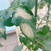 ミニトマトの葉っぱが写真のようになっていました。 虫などは確認できておりません。  花や身がつき始めていますのでその影響でしょうか。